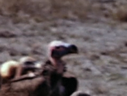 19. Lappet-Faced Vulture