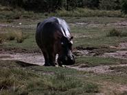 26. Hippopotamus