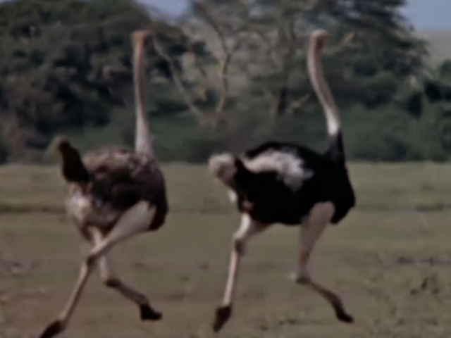 File:32. Ostrich.PNG