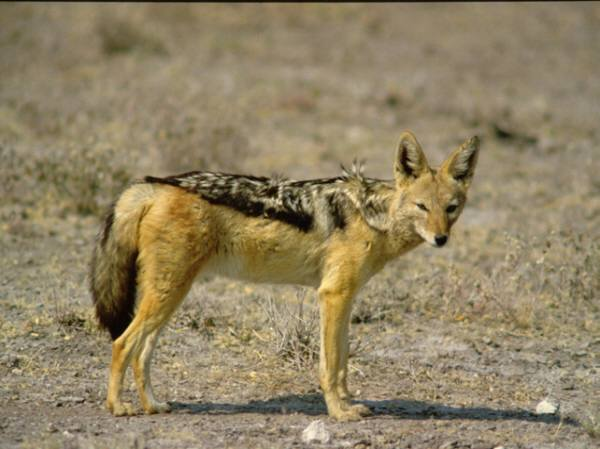 File:Black-Backed Jackal.jpg