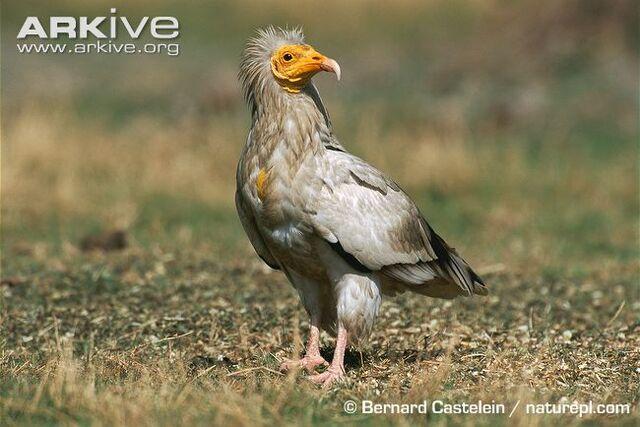 File:Egyptian-vulture-on-ground.jpg