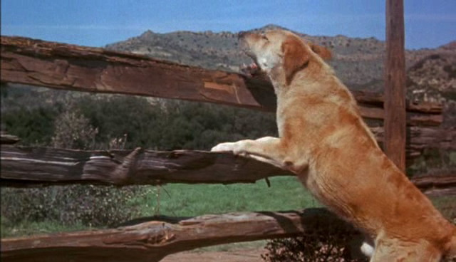 File:Old-yeller-disneyscreencaps.com-784.jpg