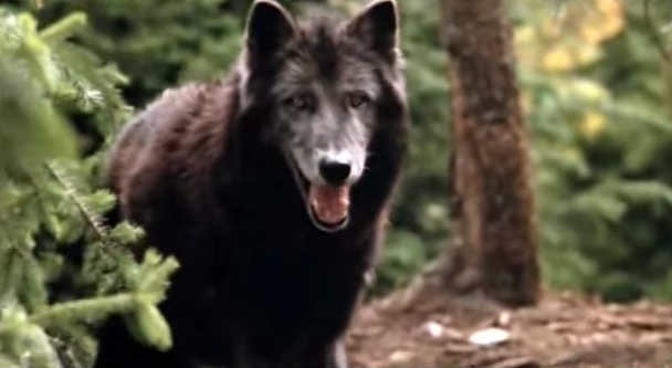 File:Timber Wolf 19.png