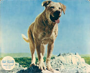 Old Yeller Lobby Card