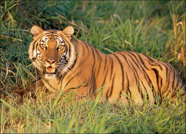 File:Tiger-picture-1-.jpg