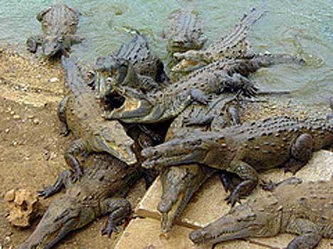 File:Crocodiles 2sfw.jpg