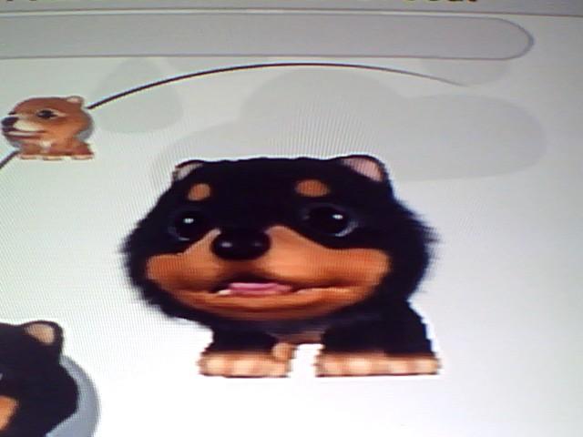 File:14 Tricolour Pomeranian.jpg