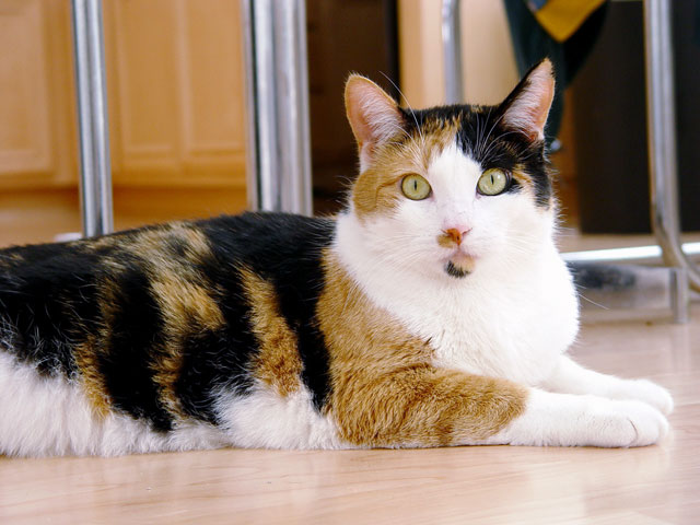 File:Calico cat.jpg