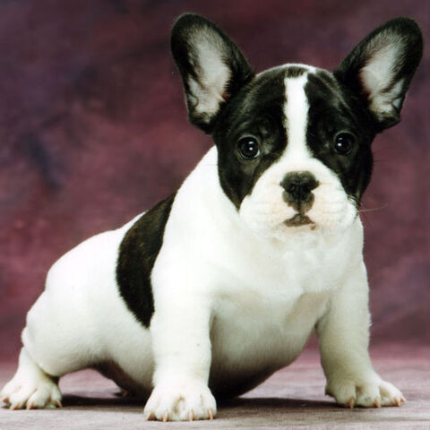 File:10528579-french-bulldog-puppies.jpg