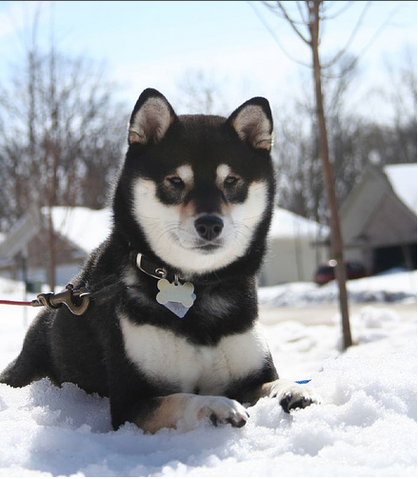 File:Black and tan shiba inu.png