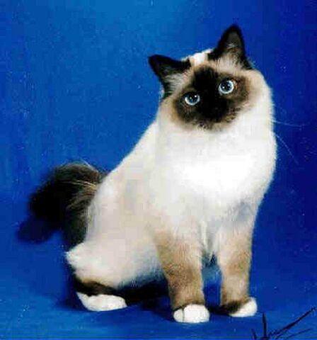 File:Birman-cat-facts-2.jpg