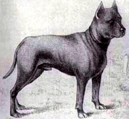 File:Blue-paul-terrier2.jpg