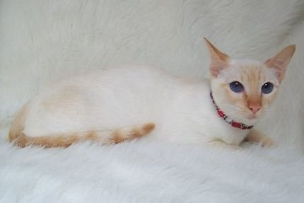 File:Red Point Siamese lying.jpg