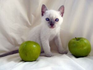 Lillac Point Siamese kitten
