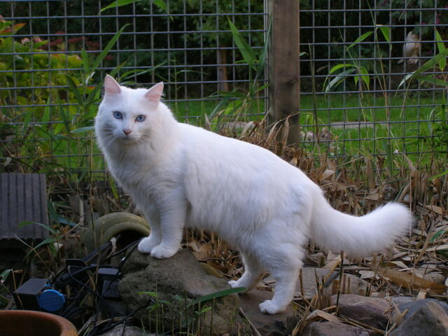 File:Turkish Van outdoors.jpg