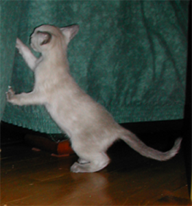 File:Blue Cream Point Siamese kitten.jpg