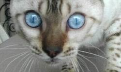 File:Seal Lynx Point Snows Eyes.jpg