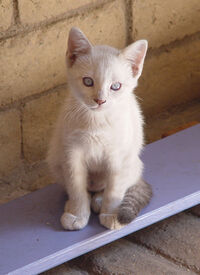 Fawn Tortie Tabby Point Siamese