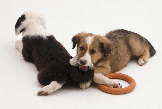 File:Puppy biting.jpg