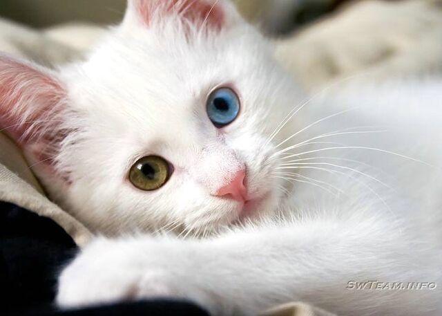 File:Turkish Van white kitty.jpg