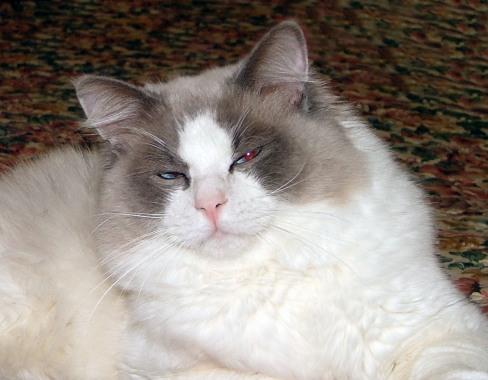 File:Ragdoll cat.jpg