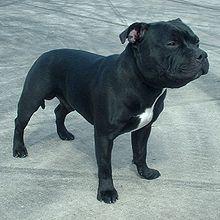 File:220px-Staffordshire Bull Terrier 600.jpg