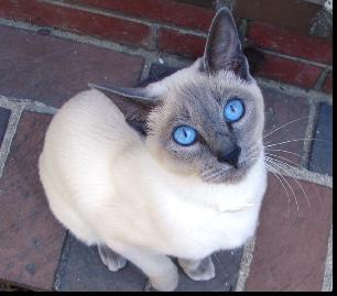 File:Blue Point Siamese.jpg