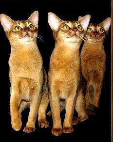 Abyssinian cat 3