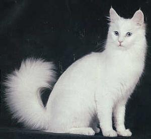 White Angora