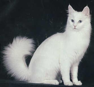 File:White Angora.jpg