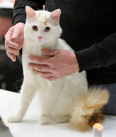 File:White Turkish Van.jpg