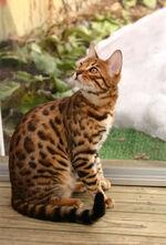 Bengal cat 5