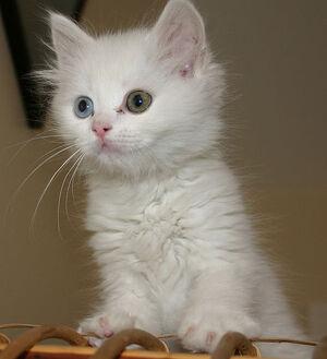 Turkish Van kitten 2
