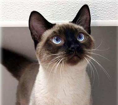 File:Seal Point Siamese kitten.jpg
