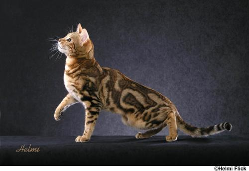 File:Bengal cat 4.jpg