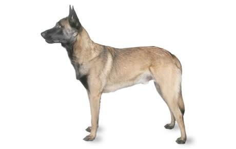 File:Belgian Malinois Dog.jpg