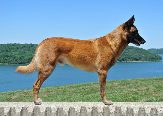 File:Belgian Malinois - Adult.jpg