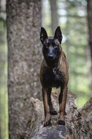 Belgian Malinois Standing in Forest