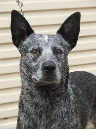 File:Australian stumpy tail cattle dog.jpg
