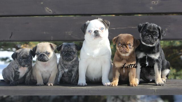 File:Wierd coloured pugs.jpg