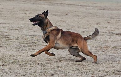 Belgian Malinois Playing