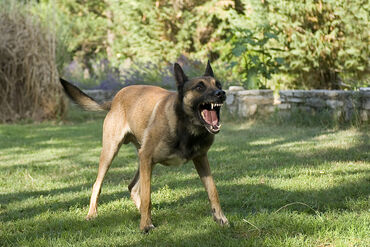 Belgian Malinois Snarling