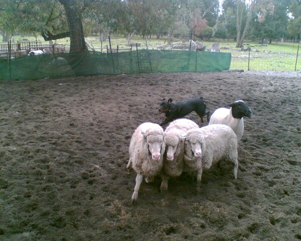 File:Rottweiler herding sheep 1.jpg
