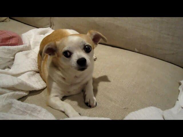 File:Chihuahua Fem.jpg