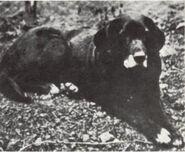 St Johns dog