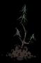 Evergreen Sapling.png