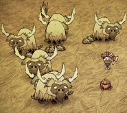 Shave Beefalo