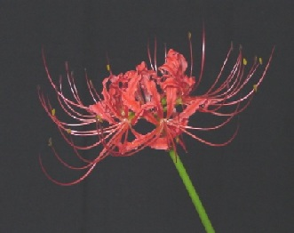 File:Lycoris flower.jpg