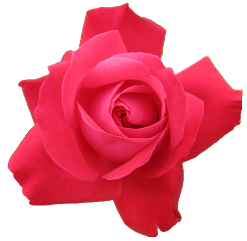 File:Red-rose-transparent-isolated.png