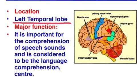 Broca's area vs. Wernicke's area - VCE Psychology-0